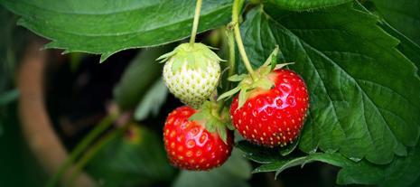 barquette de fraises - jardinerie derly lanton