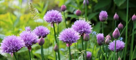 plantes aromatiques - jardinerie derly lanton