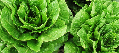Salades - jardinerie Derly Lanton