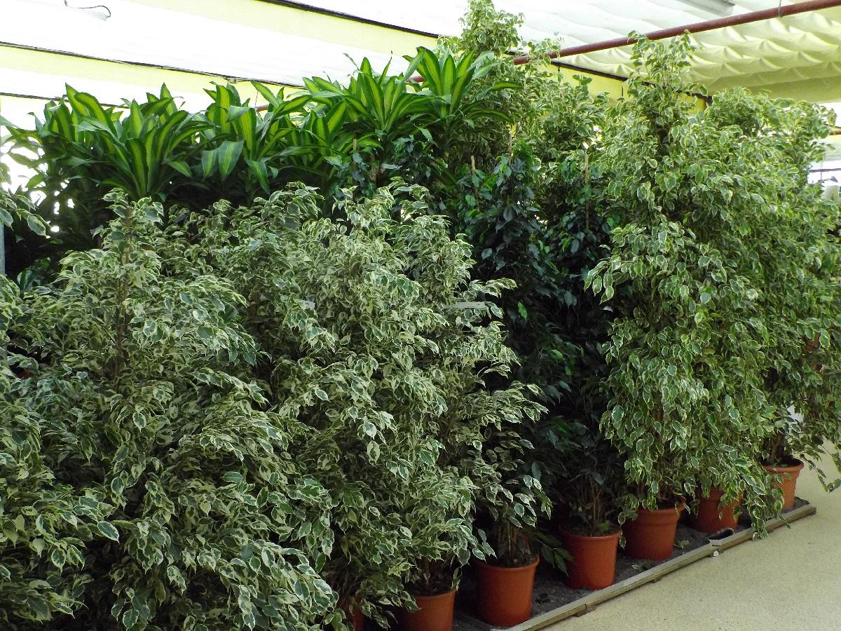 Nouvel arrivage de plantes vertes dans votre Jardinerie Derly !
